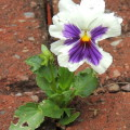 Blooming pansy